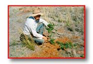 Inspecting Black Wattle seedlings grown by hand scalping on the Camel range, 1996